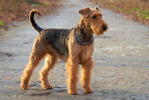 Airedale Terrier Family Friendly Guard Dog #7