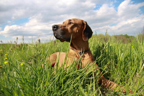 Rhodesian Ridgeback Family Friendly Guard Dog #9